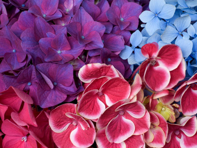 Hydrangea Blossoms.jpg
