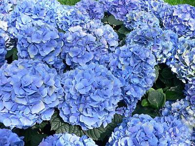 blue-hydrangea_49.jpg